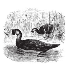 Two musk ducks swimming between the tall grass in vector