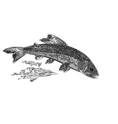 American brook trout salmonidae fish as vintage vector image