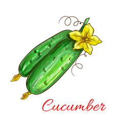 isolated cucumbers sketch icon vector image
