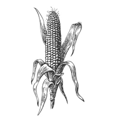 Ripe corn on the cob with leaf vector