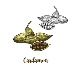full color sketch of cardamon vector image vector image
