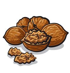walnut vector image