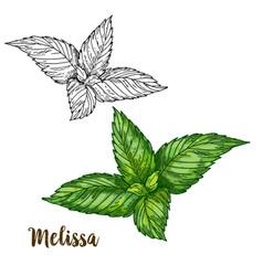 color realistic sketch of melissa vector image vector image
