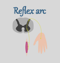 human organ icon in flat style reflex arc vector image