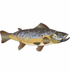 brown trout vector image