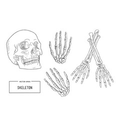 human skeleton sketch vector image
