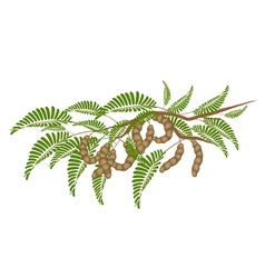 Fresh Brown Tamarind Pods on Tree Branch vector image