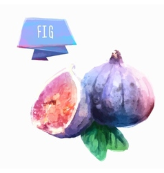 Fig hand drawn watercolor on a white background vector