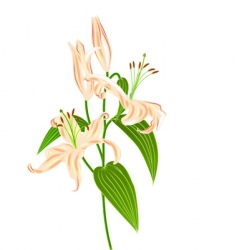 lily flower bouket vector image