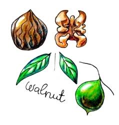 Walnut vector