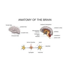 ANATOMY OF THE BRAIN vector image vector image
