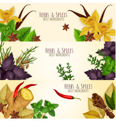 herbs spices culinary ingredients banners vector image