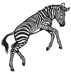 zebra baby vector image vector image