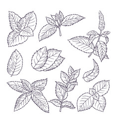 hand drawn of mint leaves and vector image
