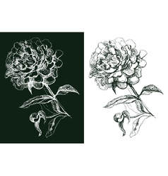 Peony flower hand drawn vector