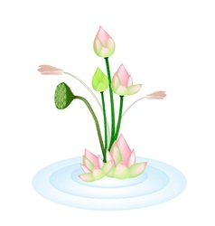 Lotus flowers and pod on a water vector
