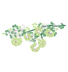 Fresh Manila Tamarind Pods on Tree Branch vector image