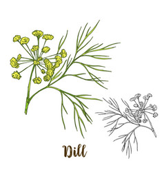 Full color realistic sketch of dill vector