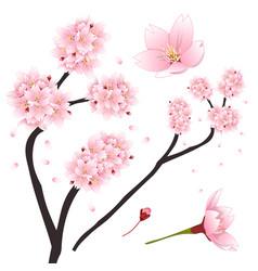 Prunus serrulata - pink cherry blossom sakura vector