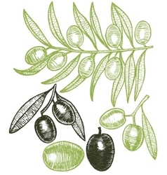 Olives hand draw sketch vector