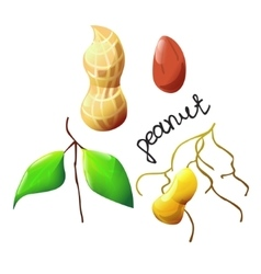 colorful peanut vector image vector image