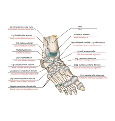 Ligaments and joints of the foot vector image vector image