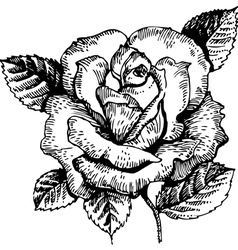 Rose hand-drawn vector