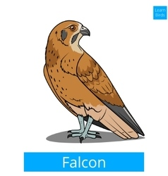 Falcon bird learn birds educational game vector