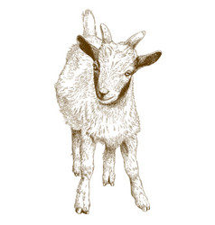 engraving of goat kid vector image vector image