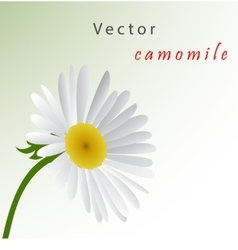 Template card with camomile vector