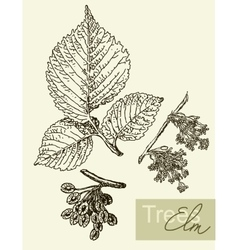 Image of leaves flowers and fruits of elm vector
