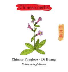 Medicinal herbs of china foxglove rehmannia vector