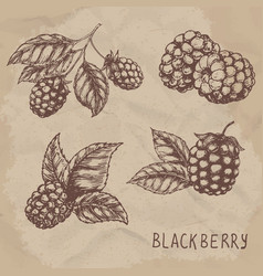 Set of drawing blackberry raspberry vector