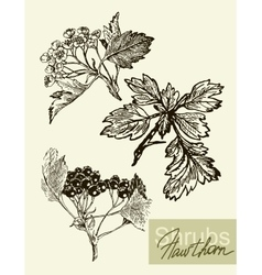 Leaves flowers and fruits of the viburnum vector