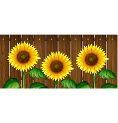 sunflowers in front of wooden fence vector image