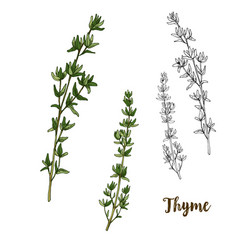 Full color realistic sketch of thyme vector