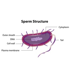 Sperm structure vector