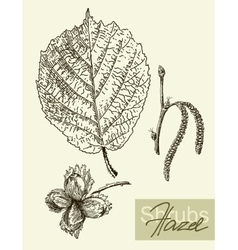 leaves flowers and fruits of the hazel vector image vector image