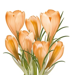 Spring bouquet of yellow crocuses vector image vector image