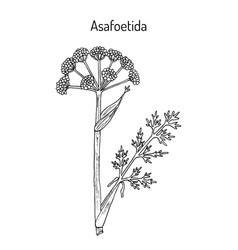 Asafoetida ferula assa-foetida medicinal plant vector