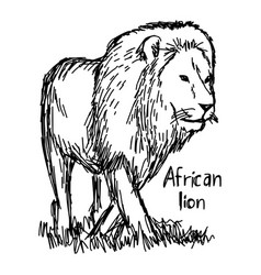 African lion walking - sketch hand vector