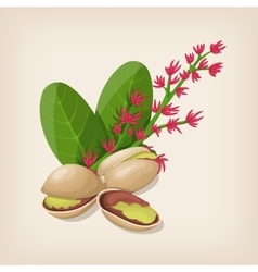 Pistachio nut in shell flower and leaves vector image