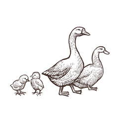 Goose and duck farm animals sketch hand drawn vector