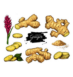 ginger set hand drawn root sliced pieces vector image vector image