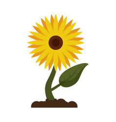 Sunflower flora leaves icon vector