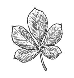 Chestnut leaf vintage engraved vector
