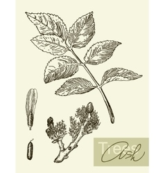 Image of leaves flowers and fruits of ash vector