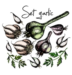 Set of garlic vector