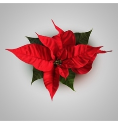 Poinsettia flowers for decoration vector