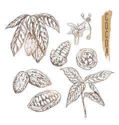 sketch of cocoa pod with seeds branches and vector image vector image